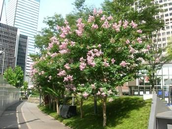 0710-2通勤途上の花たち01サルスベリ.JPG