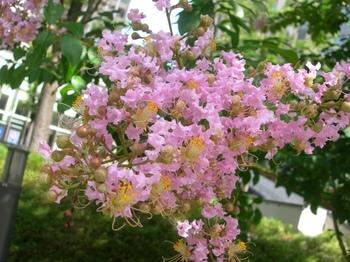0710-2通勤途上の花たち02サルスベリ.JPG