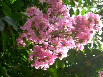 0710-2通勤途上の花たち03サルスベリ.JPG