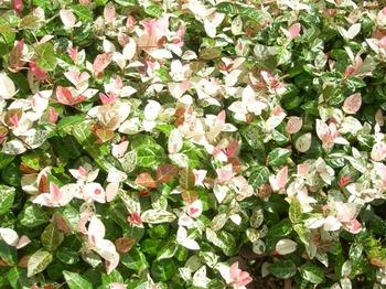 0710-2通勤途上の花たち04ハツユキカズラ.JPG