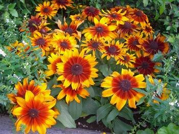 0710-2通勤途上の花たち05ルドベキア.JPG