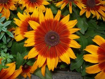 0710-2通勤途上の花たち06ルドベキア.JPG