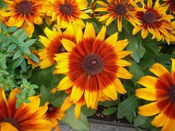 0710-2通勤途上の花たち07ルドベキア.JPG