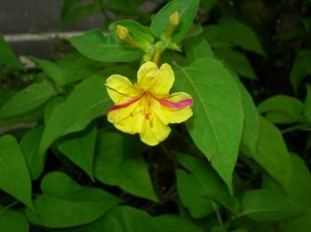 0710-2通勤途上の花たち14オシロイバナ(赤い斑入り).JPG