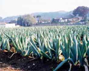 20100109(16)下仁田ネギの畑.jpg