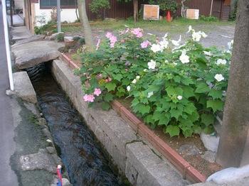 20100815長谷寺(04)芙蓉.JPG