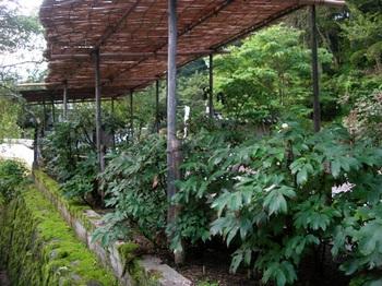 20100815長谷寺(17)本坊前の牡丹.JPG