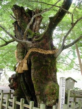20100923(41)弥栄神社03大ケヤキ.JPG