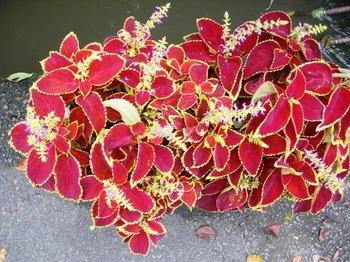 20100923(57)鉢植えコリウス.JPG