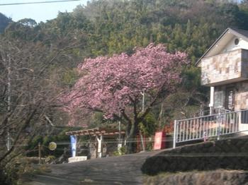 20110131伊豆(06)伊豆高原の桜.jpg