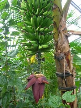 20110131伊豆(44)爪木崎花園のバナナ.JPG