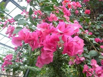 20110131伊豆(50)爪木崎花園のブーゲンビリア.JPG