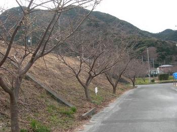 20110131伊豆(66)河津駅近くの桜並木.JPG
