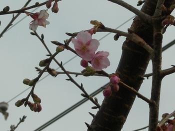 20110131伊豆(67)河津駅近くの桜.JPG