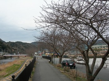 20110131伊豆(68)桜並木.JPG