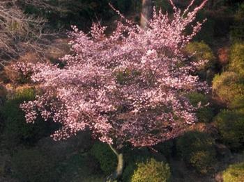 20110131伊豆(93)河津桜.JPG