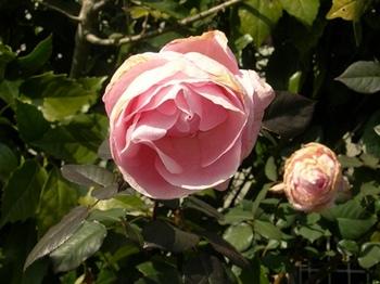 20110227(12)路傍の薔薇.jpg