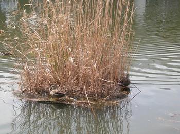 20110227(21)見次公園浮島と鴨.jpg