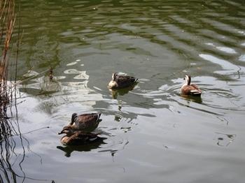 20110227(22)見次公園の鴨.jpg