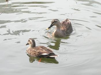 20110227(23)見次公園の鴨.jpg