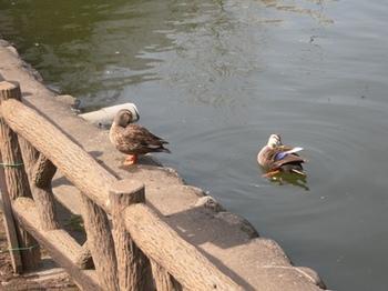 20110227(24)見次公園の鴨.jpg