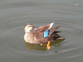 20110227(25)見次公園の鴨.jpg