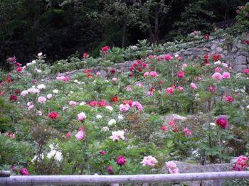 20110507(06)登廊脇牡丹園.JPG