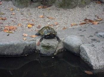 20110811(16)池の亀.jpg