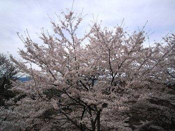 20120415(22)下の千本付近.jpg
