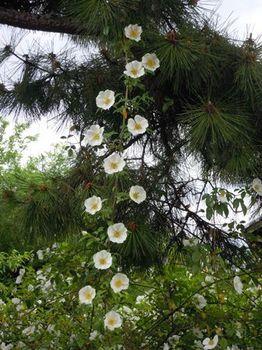 20120512(05)白い花.jpg