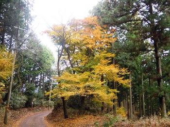 20121124(13)黄色の黄葉.jpg