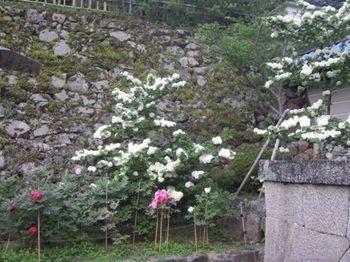 20130505(05)仁王門脇のオオデマリ.JPG