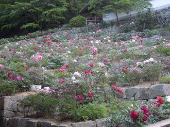 20130505(06)登廊脇の牡丹園.JPG
