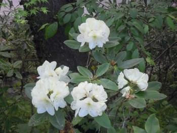 20130505(15)白いシャクナゲ?.JPG