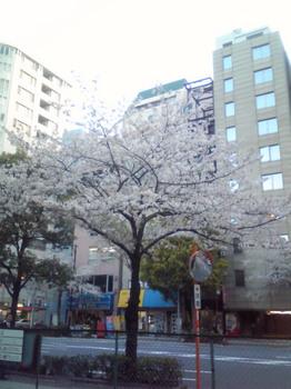 人形町の桜1.JPG