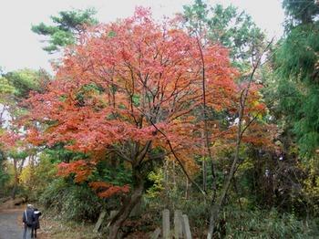 吉野詣(13)-2紅葉の木.JPG