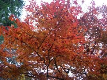吉野詣(13)-3赤の紅葉.JPG