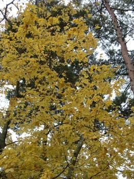 吉野詣(13)-4黄色の黄葉.JPG