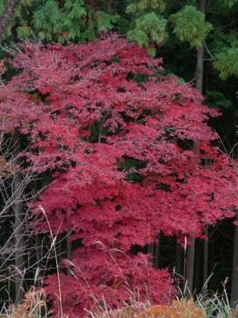 吉野詣(14)-6紅葉.JPG