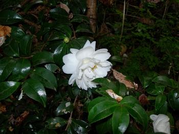 吉野詣(18)-1白いサザンカ.JPG