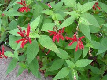 吉野詣(18)-3赤い花.JPG