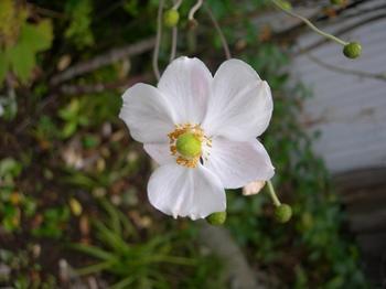 吉野詣(18)-6白い花.JPG
