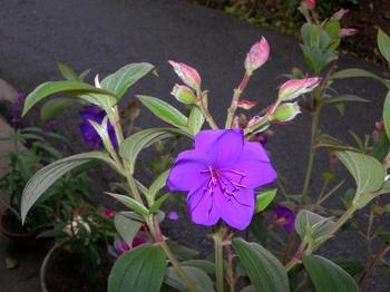 吉野詣(19)-2紫の花.JPG