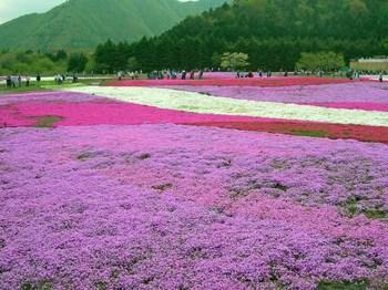 富士芝桜祭り06.jpg