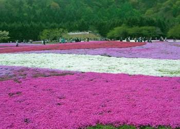 富士芝桜祭り07.jpg