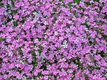 富士芝桜祭り08オータムローズ.jpg