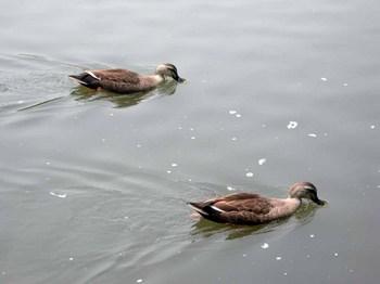 小石川後楽園大泉水の鴨.jpg