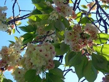 新河岸の桜 (11).jpg