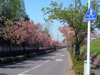 新河岸の桜 (12).jpg