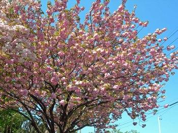 新河岸の桜 (13).jpg